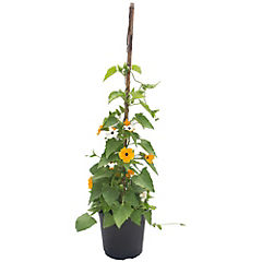 Thunbergia susie mix 0,6m