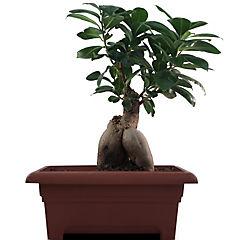 Ficus microcarpa grinseng 0,3 m interior