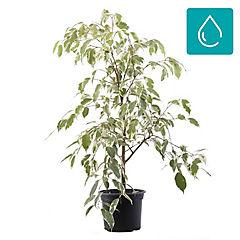 Ficus benjamina samantha 0,6m