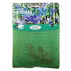 Bulbo Brodiaea 7 unidades