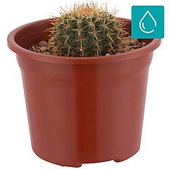 Cactus variedades extra grande 0,07m