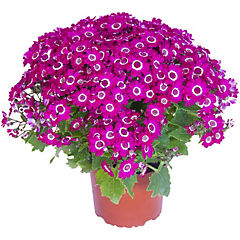 Cineraria jester 0.25 m ct15