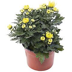 Crisantemo amarillo 0,20m