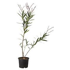 Laurel de flor 1 m ct32