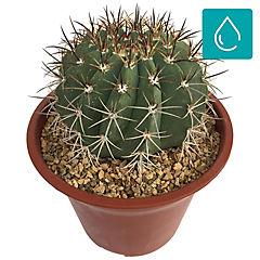 Cactaceae 0,2 m interior