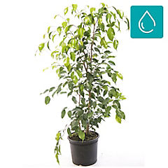 Ficus benjamina exótica 1,20m