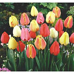 Tulipán de 3 bulbos 0,30m