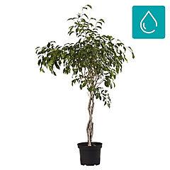 Ficus benjamina trenzado 0,70m