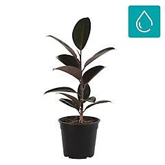 Ficus elastica 0,3 m interior
