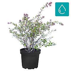 Abelia grandiflora 0.40 m ct23
