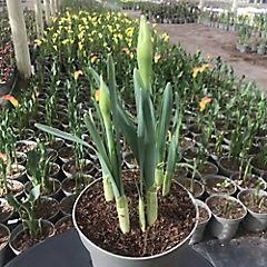 Narcissus spp 0,3 m exterior