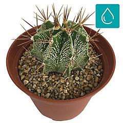 Cactaceae 0,08 m interior