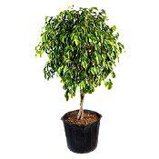 Ficus Benajemina Besp#2