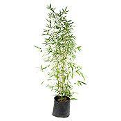 Bambu enano.