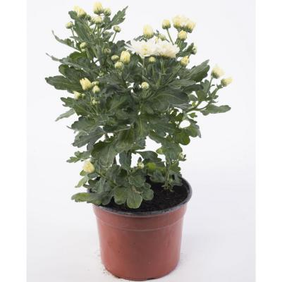 Crisantemo blanco 0,2 m