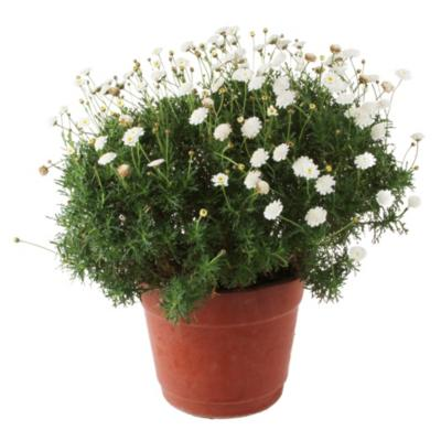 Argyranthemum 0,50 m