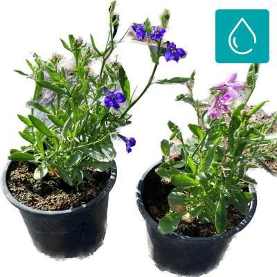 Lobelia 0,10 m