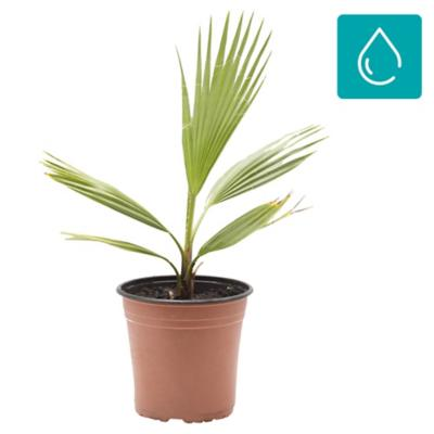 Palmera washingtonia 0,5 m