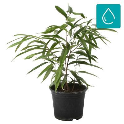 Ficus alli 0,7 m