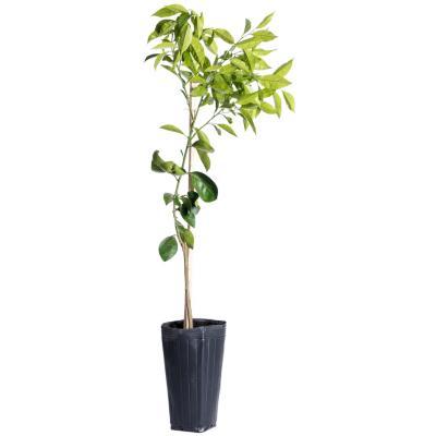 Mandarino w-murcott 1,30 m