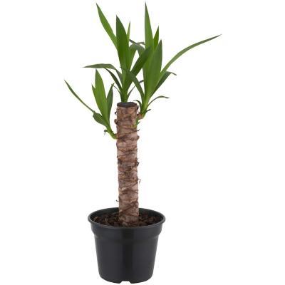 Yucca 0,3 m
