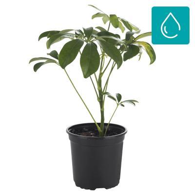Schefflera arboricola 0,4 m