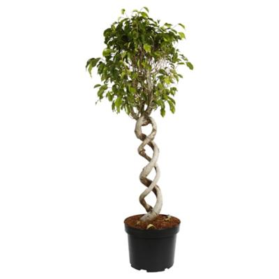 Ficus benjamina espiral duo 1,0 m