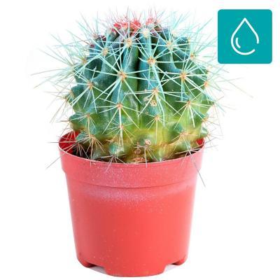 Echinocactus grussoni 0,10 m