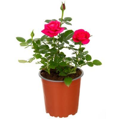Rosa hybrida 0,2 m exterior
