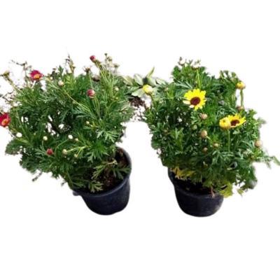 Argyranthemum 0,20 m