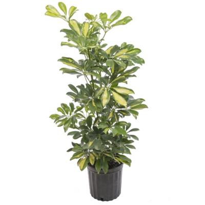 Schefflera arboricola 0,7 m interior