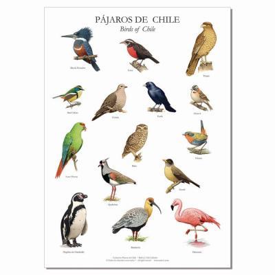 Póster ilustraciones pájaros de chile