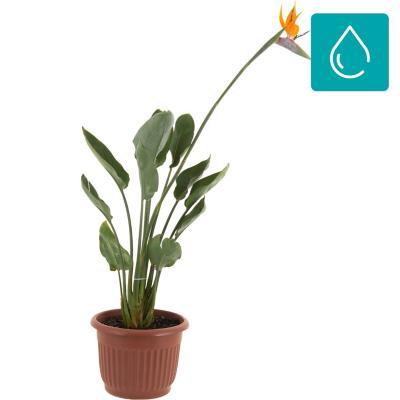 Strelitzia flor 1,0 m CT30