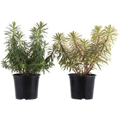 Euphorbia 0,3 m CT17