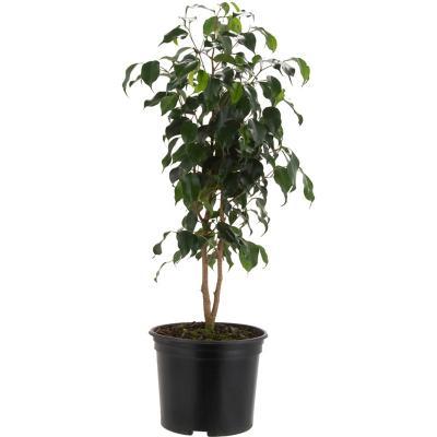 Ficus Naomi 1 m interior
