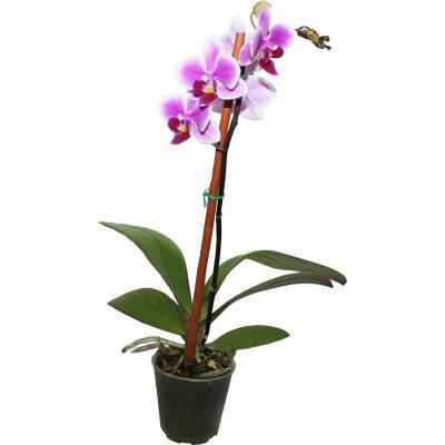 Orquidea Phanaelopsis mini 0,3m