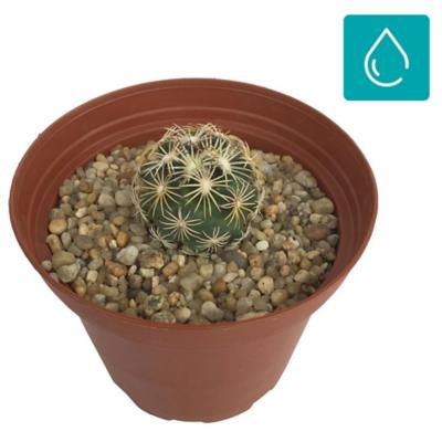 Cactus mediano 0,03 m