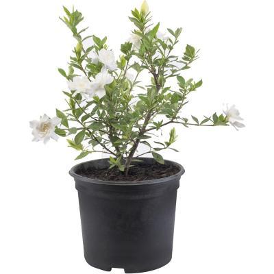 Gardenia jasminoides 0,2 m