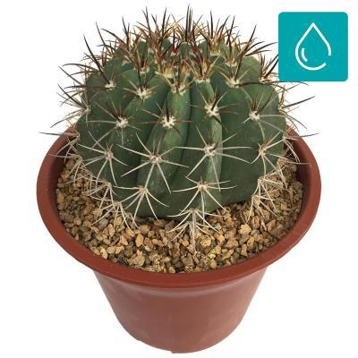 Cactus gigante extra 0,2 m