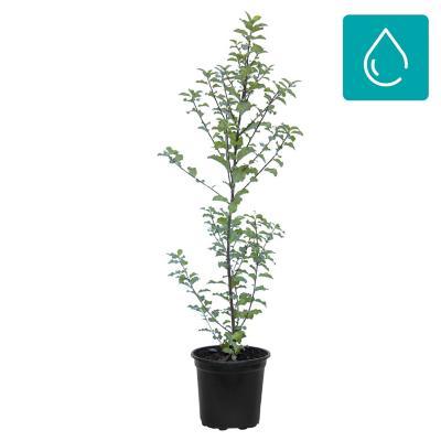 Pittosporum tenuifolium 0,5 m