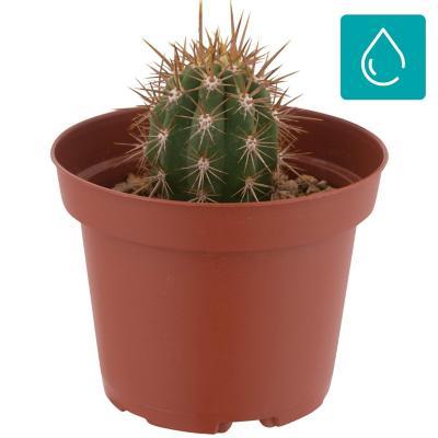 Cactus grande 0,05 m