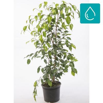 Ficus benjamina exotica 1,2 m