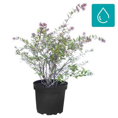 Abelia grandiflora 0,40 m