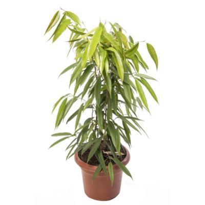 Ficus alli 1,2 m