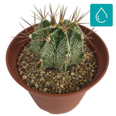 Cactus gigante 0,08 m