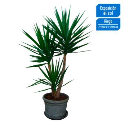 Yucca variegada