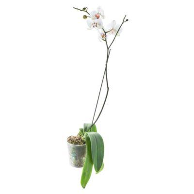Orquídea Natural Phalaen Blanco