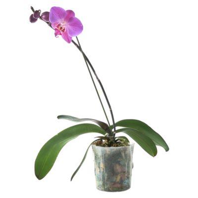 Orquídea Natural Phalaen Rojo Fucsia