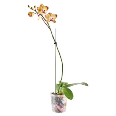 Orquídea Natural Phalae N14