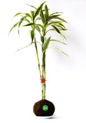 Kokedama Lucky Bamboo 3 Tallos